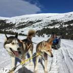 Beautiful Alaskan breed huskies in Grau Roig!